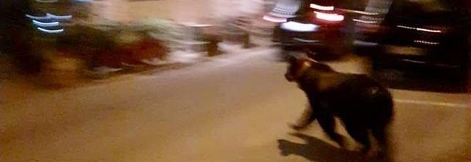 Orso a passeggio a Scanno, i turisti scattano foto senza paura