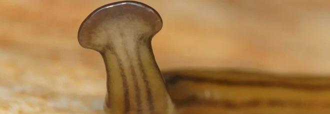 Vermi piatti giganti «con la testa di martello»: l'invasione in città, avvistati anche in Italia