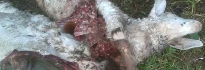 Lupo ancora all'attacco, nuove pecore divorate dalle sue fauci