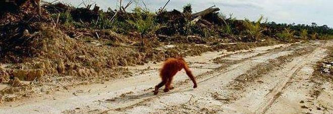 150mila oranghi morti in Borneo per la scomparsa della foresta