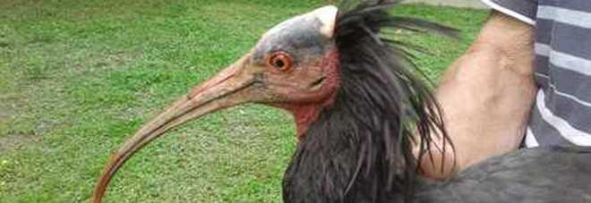 Sparito da 500 anni ricompare a Cuneo: è l'Ibis eremita