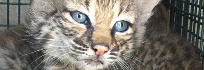 Salvano una cucciolata di gattini. Ma erano delle linci /Foto