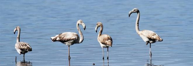 """I fenicotteri rosa """"invadono"""" il lago Trasimeno: e non sono i famosi materassini"""