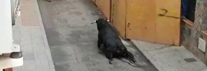 Toro con zampe spezzate agonizza in strada: l'ennesimo caso choc in Spagna