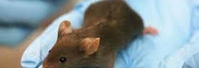 Gli scienziati riescono a mantenere vivi i cervelli estratti dai topi per settimane
