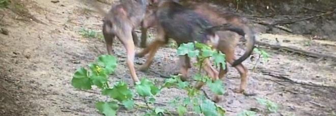 Sorpresa nell'oasi: nati  sei cuccioli di lupo /Video