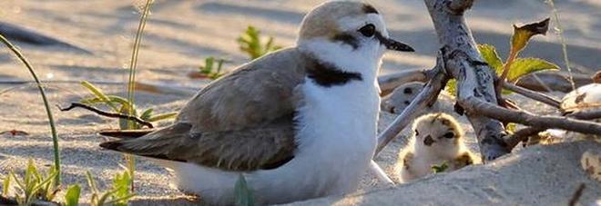 """Il """"fratino"""" euroasiatico fa il nido sulla spiaggia di Campomarino"""