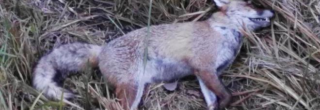 Esemplare di volpe ucciso dal cimurro
