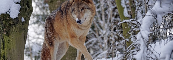 Orme sulla neve: il lupo si è spinto fino al monte Tomatico /Foto