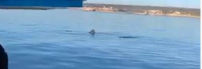 """Squalo elefante di otto metri nel mare del Salento: la """"danza"""" ripresa dai pescatori VIDEO"""