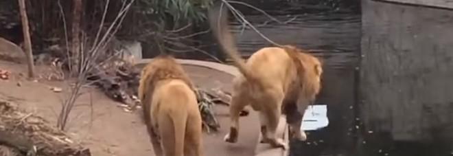 Il leone è il re dello zoo, ma fa una figuraccia davanti a tutti i visitatori