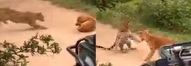 Il leopardo prova ad attaccare un cane, ecco come va a finire