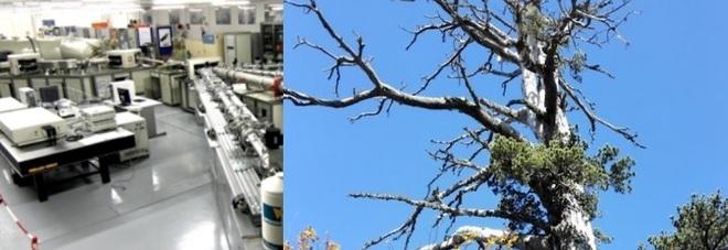 L'albero più vecchio d'Europa? Si trova sul Pollino ed è stato datato nel Salento