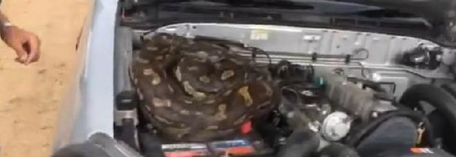 Il pitone velenoso nascosto nel motore del fuoristrada