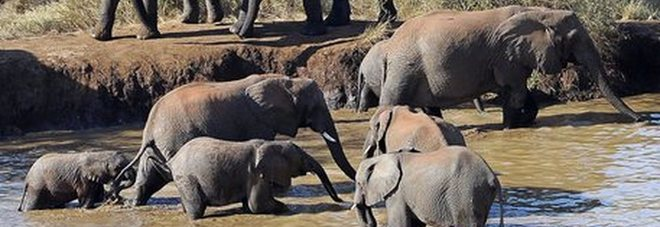 Messi in salvo cinque elefanti rimasti intrappolati in una fossa di fango - video