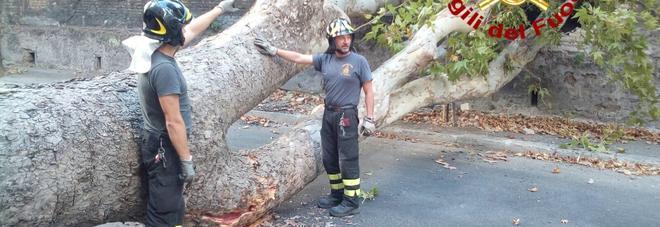 Roma, gigantesco platano cade a Monteverde. Muro abbattuto, nessun ferito