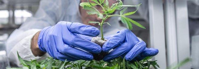 Tumore ai genitali, alto rischio per gli uomini fumatori regolari di cannabis