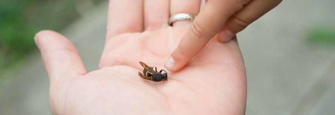 Muoiono dopo le punture di un'ape e di una vespa: due vittime di choc anafilattico