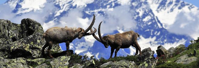 Stambecchi (foto di Parco Nazionale Gran Paradiso)