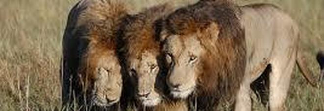 Mandria di leoni attacca e divora un cacciatore «È rimasta solo la testa»
