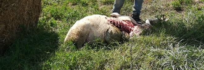 Fermo, quaranta pecore uccise dai lupi. Gli allevatori: «Aiutateci»