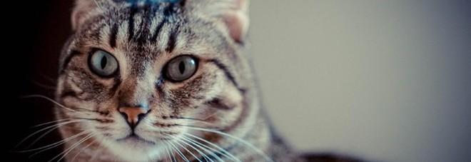 Giappone, un gatto è il maggior indiziato per il tentato omicidio di una donna