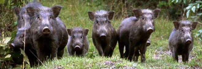 I cinghiali devastano la riserva delle Cesine in Salento e il Wwf chiede aiuto ai cacciatori