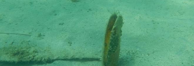 «Salviamo la pinna nobilis» Monitoraggio nei due mari