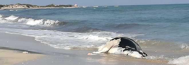 Orrore in spiaggia: una mucca morta sul bagnasciuga