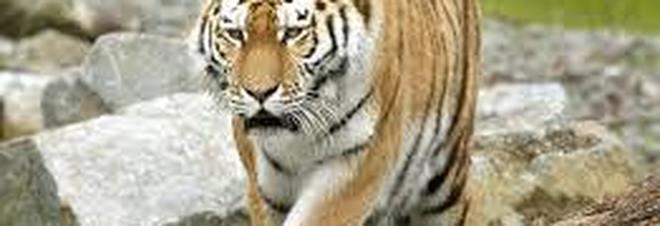 Cina, tigre scappa durante uno spettacolo e si getta sulla folla