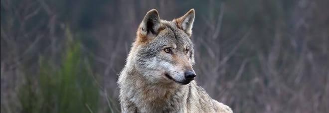Animali uccisi dai lupi dalle Marche in arrivo 200mila euro agli allevatori