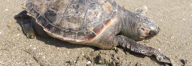 Una delle due tartarughe trovate morte sulla spiaggia