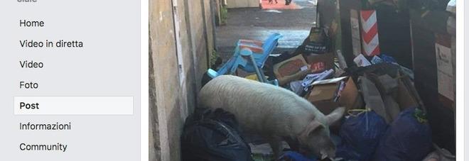 Giorgia Meloni, un maiale tra i rifiuti a Roma: