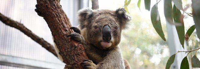 Un koala salvato dalle fiamme in Australia