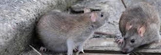 Roma, a via dei Gracchi invasione dei topi tra rifiuti e cassonetti
