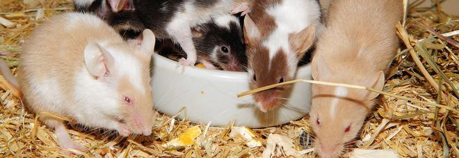 Libera i topi nelle stanze per lamentarsi e non pagare gli hotel, arrestato