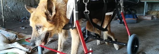 """Lazzaro, il cane """"risorto"""" da una morte certa: ora è di nuovo felice VIDEO"""