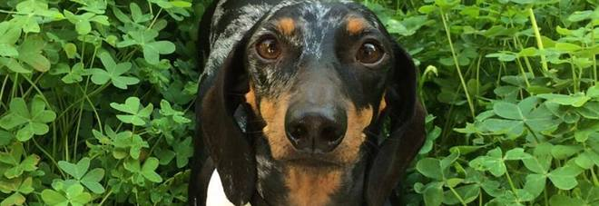 """Roma """"invasa"""" dai bassotti: la manifestazione dedicata ai cani più amati"""