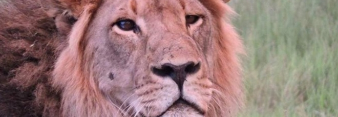 Seduli, il leone ucciso. (immagine pubblicata da Lions of Hwange National Park su Facebook)