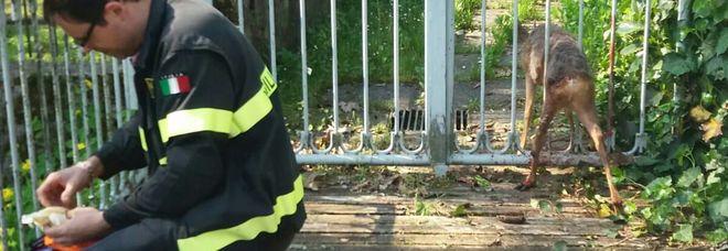 Capriolo si incastra nella ringhiera di una casa, liberato dalle guardie