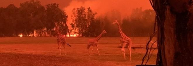 Lo zoo di Mogo è devastato dagli incendi ma lo staff mette eroicamente in salvo tutti gli animali