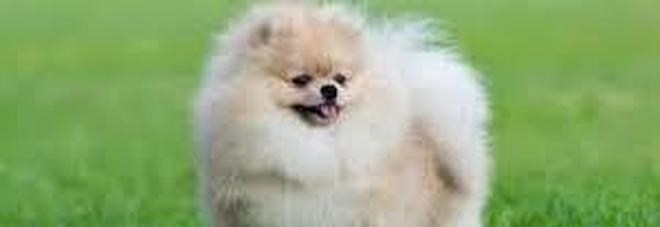 """Coronavirus, morto il cane """"positivo"""" di Hong Kong. Era stato liberato dalla quarantena"""