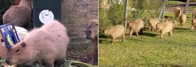 Caldo e pochi spazi verdi, i roditori giganti invadono le case: «Possono attaccare e ferire anche cani di grossa taglia»