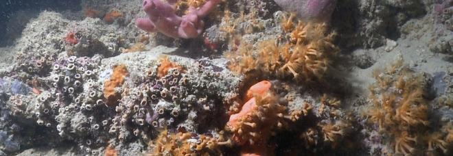 Al largo di Monopoli spunta una barriera corallina Gli studiosi: «Potrebbe estendersi fino a Otranto»