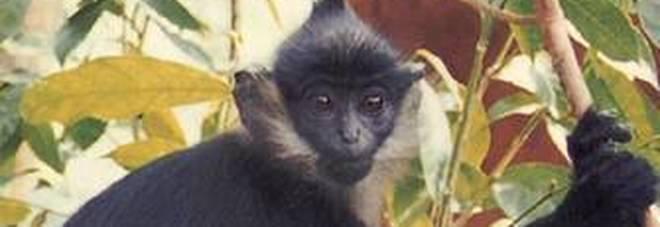 Vaiolo delle scimmie, nuovo caso in Gran Bretagna: virus contratto Nigeria