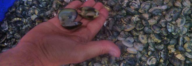 Inseguimento in Laguna, sequestrati 400 chili di vongole a due pescatori