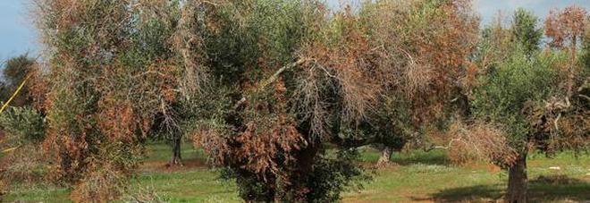 Xylella, sì agli insetticidi il Tar Lazio respinge i ricorsi contro il decreto