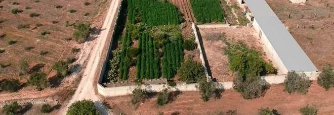Marijuana, scoperta piantagione da 2mila piante Arrestato un 45enne leccese