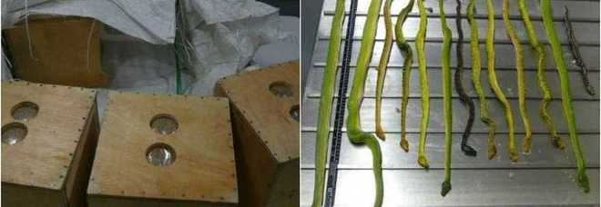 Scoperto alle poste pacco con 13 serpenti vivi (Dipartimento Agricoltura Melbourne)