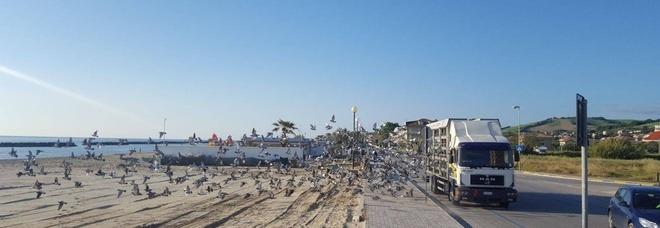 Duemila piccioni viaggiatori liberati sul lungomare Destinazione Reggio Emilia